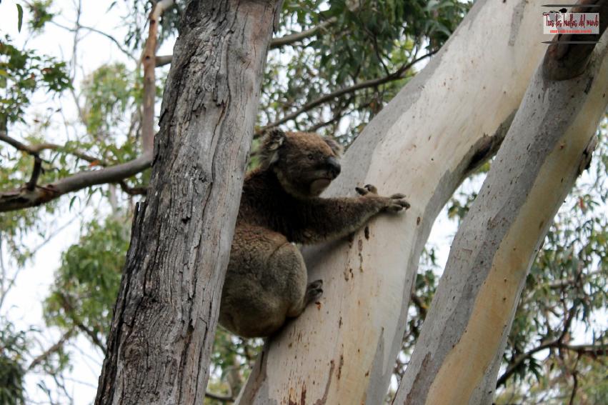 Koala Australia 1.jpg
