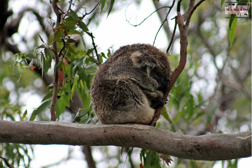 Koala Australia 2.jpg
