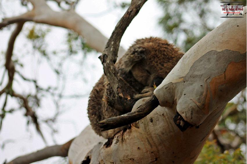 Koala Australia 3.jpg